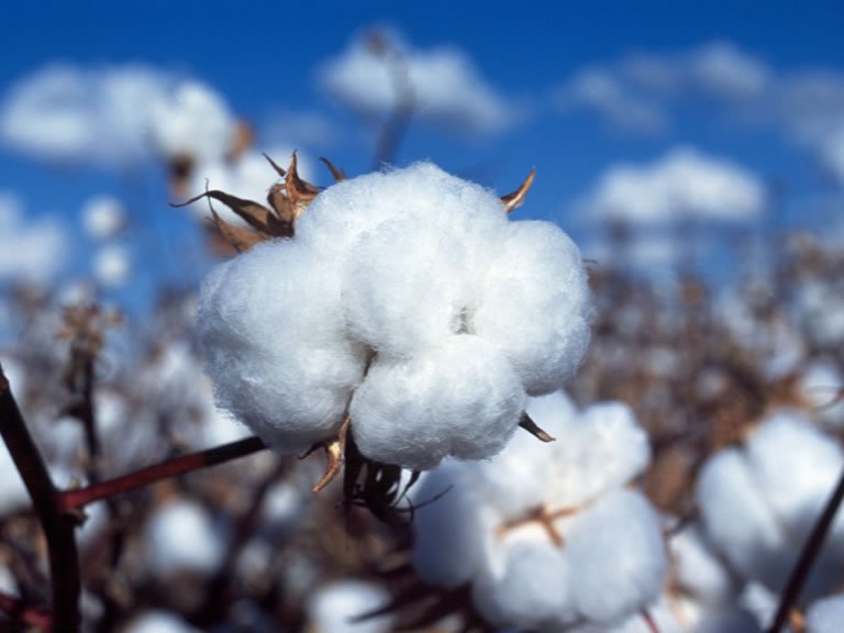 algodão Shojiki